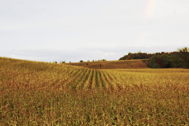 Wheat Field in Huron County